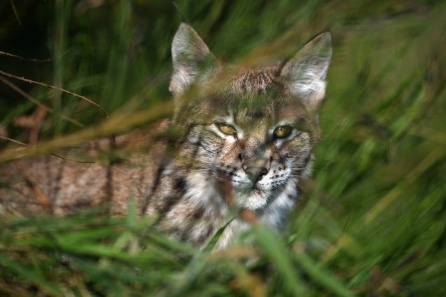 One of the Northern Lynx kittens explores its enclosure at the Highland Wildlife park on October 9, 2012 in Kingussie, Scotland. The feline twins are believed to be the type of lynx found historically in Scotland. The Highland Wildlife Park specialises in Scottish animal species, both past and present, and species that are well adapted to cold weather.  (Photo by Jeff J. Mitchell)