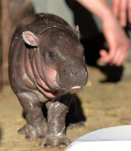 A new born hippo baby walks in front of its Zoo keeper in Szeged Zoo, near Budapest, Hungary on December 7, 2012 during his first press presentation. The small animal was born three weeks ago, on November 17, 2012 with 5925 grams. (Photo by Csaba Segesvari/AFP Photo)