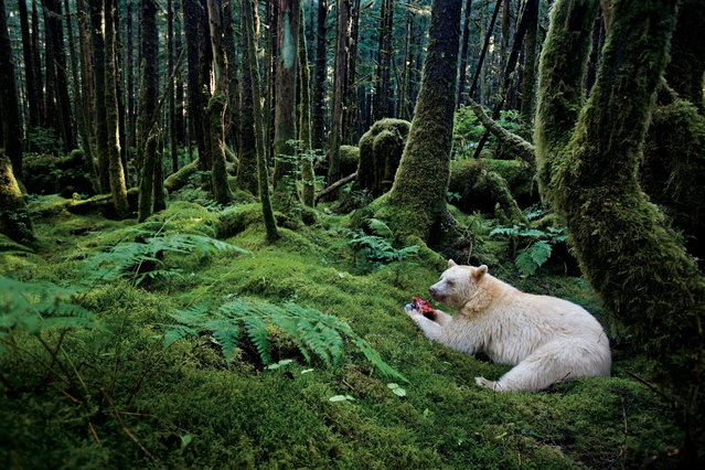 British Columbia, Canada, 2010. In a moss-draped rain forest in British Columbia, towering red cedars live a thousand years, and black bears have white coats. They are known to the local people as spirit bears. (Photo by Paul Nicklen