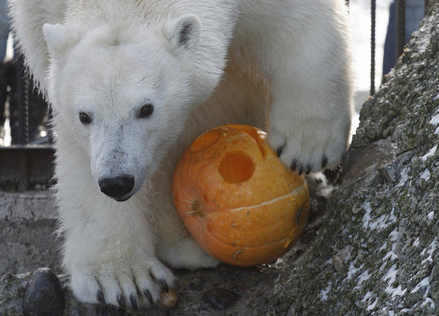Aurora, a two-year-old female polar bear, plays with a pumpkin inside her open air cage during the Zoo Halloween Weekend event at the Royev Ruchey zoo in Russia's Siberian city of Krasnoyarsk, October 26, 2012. Zoo employees held a competition for the best Halloween pumpkin, which were afterwards presented to the animals. (Photo by Ilya Naymushin/Reuters)