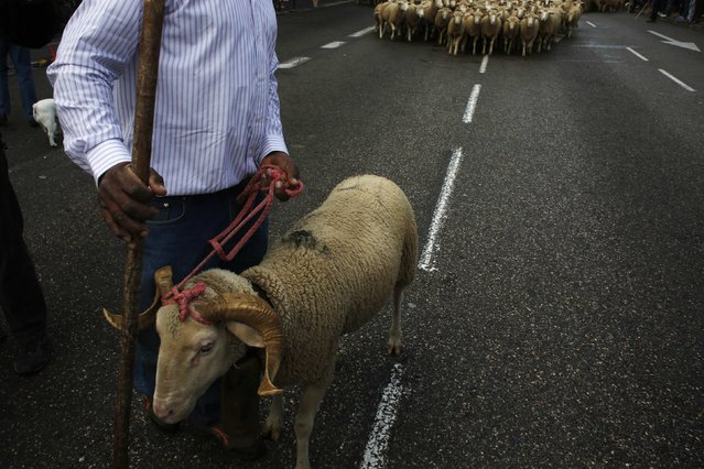 A shepherd leads a herd during the annual sheep parade through Madrid November 2, 2014. (Photo by Susana Vera/Reuters)