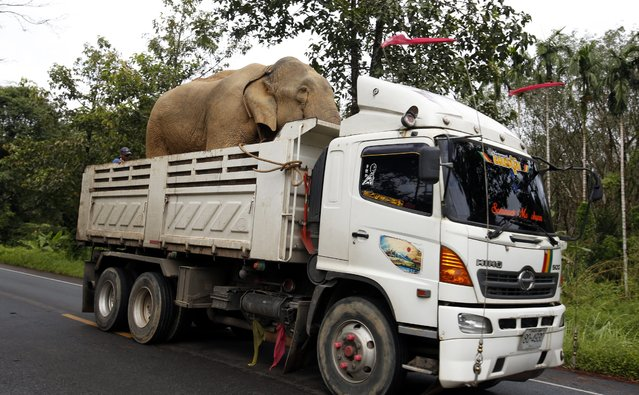 An elephant is transported in the tray of a six-wheel truck as it speeds along a main highway in Takua Pa district, Phang Nga province, southern Thailand, 4 November 2014. Domesticated elephants in Thailand number more than 2,500 and most are used in tourism activities. In the wild, numbers are dwindling and estimated to be no more than three thousand at the most. (Photo by Barbara Walton/EPA)