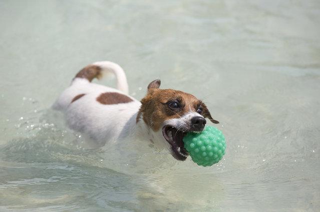 "Dog ""Bacana"" retrieves a ball during the Dog Olympic Games in Rio de Janeiro, Brazil, Sunday, September 18, 2016. (Photo by Silvia Izquierdo/AP Photo)"