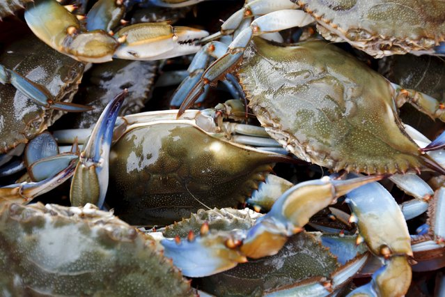 Blue crabs wait to be tagged by researchers from the Smithsonian Environmental Research Center (SERC) before being released back into the Nanticoke River, a tributary of the Chesapeake Bay, near Tyaskin, Maryland August 25, 2015. (Photo by Jonathan Ernst/Reuters)