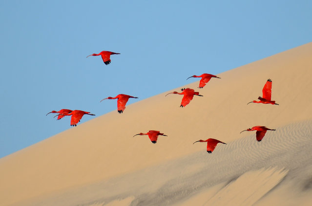 On a boat off the island of Lençóis on the coast of north-east Brazil, Jagot captured this shot of scarlet wings against the canvas of sand and tropical blue sky. (Photo by Jonathan Jagot/2015 Wildlife Photographer of the Year)