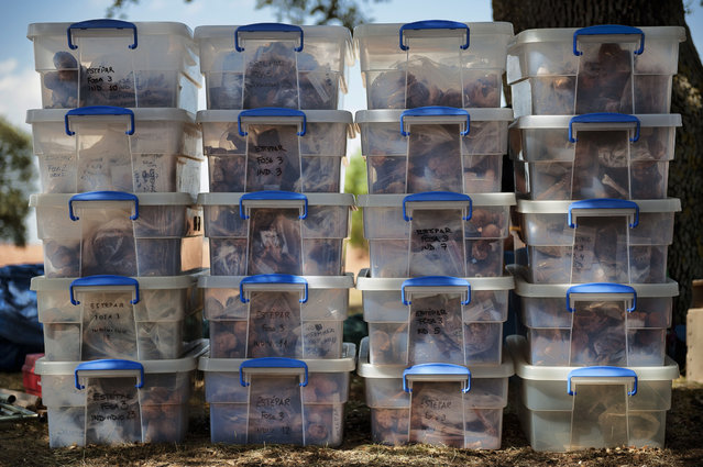 In this photo taken on July 26, 2014, skeletons and evidence are packed in plastic boxes after being exhumed from a hidden mass grave during an excavation by the Aranzadi Sciences Society searching for the remains of those killed by their political ideology during and after the Spanish civil war in El Estepar, Spain. (Photo by Daniel Ochoa de Olza/AP Photo)