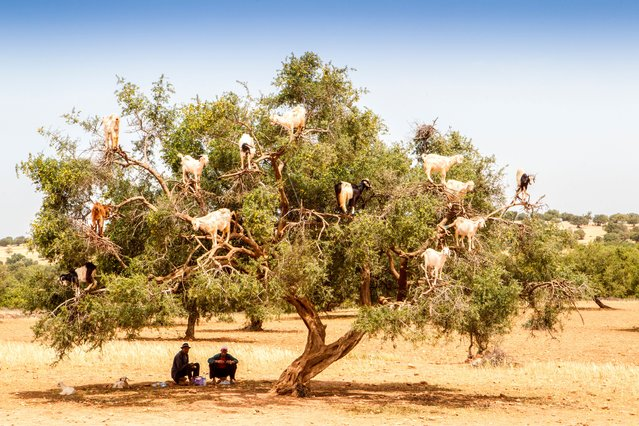Goat gymnasts – the goats of Tamri village in Morocco show great agility in searching for their favourite food. These nimble nibblers claw, jump and scramble up the argan trees to reach their beloved berries, setting in motion a practice that's been around for centuries. The olive-like argan berry is perfect nourishment in an area where food is scarce. The Tamri goats can climb 9 m (30 ft) up to the tree tops. (Photo by Paul Strawson/Alamy)