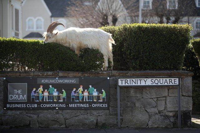 A goat is seen in Llandudno as the spread of the coronavirus disease (COVID-19) continues, Llandudno, Wales, Britain, March 31, 2020. (Photo by Carl Recine/Reuters)