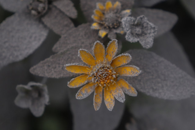 A flower covered by volcanic ash from the eruption of Mount Semeru in Lumajang, East Java Province, on January 17, 2021. Mount Semeru erupted on January 16, 2021, in Lumajang Regency, East Java, Indonesia. The volcano launched a hot cloud with a gliding distance of about 4.5 kilometers (km). (Photo by Suryanto/Anadolu Agency via Getty Images)