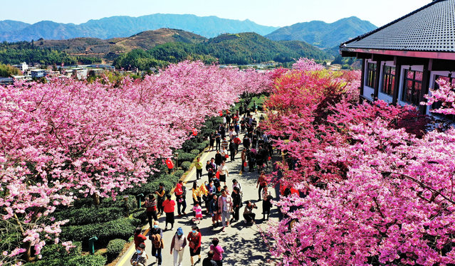 Photo taken from aerial view shows the blooming cherry blossoms at Taipin Cherry Tea Garden in Yongfu Town, Zhangping County-level City of Longyan City, south China's Fujian Province, 17 February 2021. (Photo by Rex Features/Shutterstock)