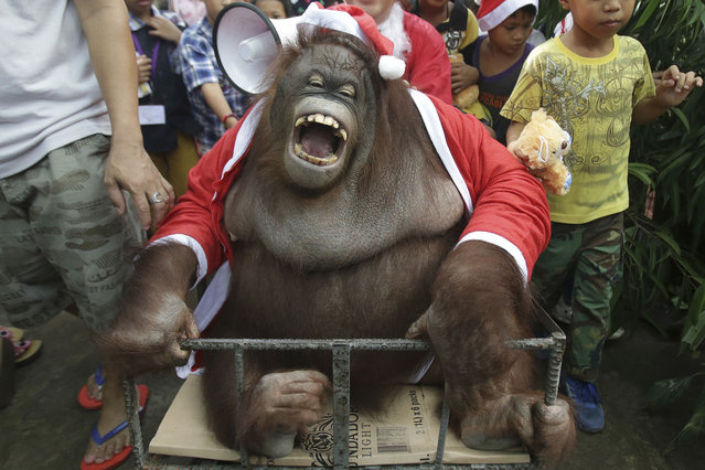 "An orangutan named ""Pacquiao"" dressed in a Santa Claus costume reacts as he joins an ""Animal Christmas Party"" at the Malabon zoo in suburban Malabon, north of Manila, Philippines Monday, December 21, 2015. (Photo by Aaron Favila/AP Photo)"