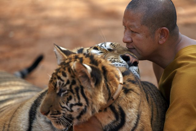 A Buddhist monk plays with tigers at the Wat Pa Luang Ta Bua, otherwise known as the Tiger Temple, in Kanchanaburi province February 12, 2015. (Photo by Athit Perawongmetha/Reuters)