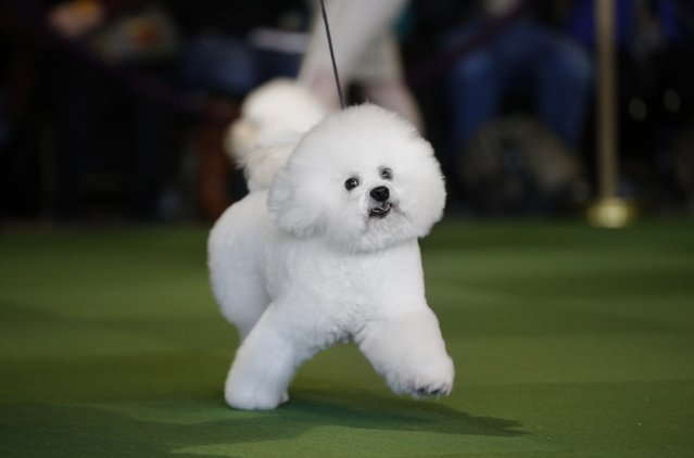 A Bichon Frise is walked in the ring during competition in the Non-Sporting Group at the 139th Westminster Kennel Club's Dog Show in the Manhattan borough of New York February 16, 2015. (Photo by Mike Segar/Reuters)