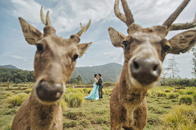 Couples wedding photo photobombed by deer. (Photo by Hendra Lesmana/Caters News Agency/ISPWP)