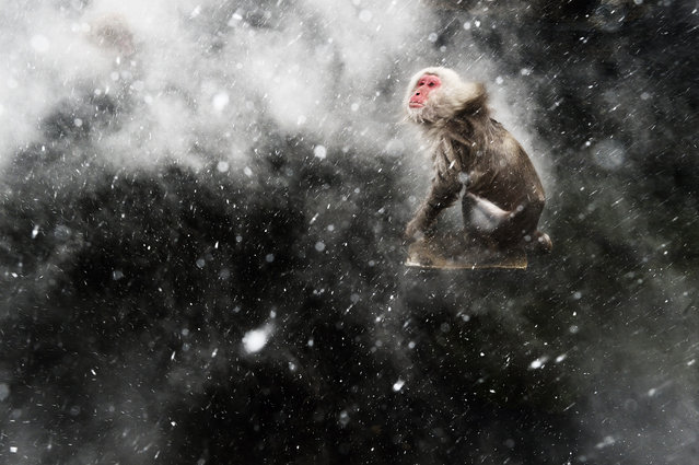 """The Netherlands: """"Snow moment"""". When photographing the famous Japanese macaques around the hot springs of Jigokudani, central Japan, Jasper had become fascinated by the surreal effects created by the arrival of a cold wind. Occasionally, a blast would blow through the steam rising off the pools. If it was snowing, the result would be a mesmerising pattern of swirling steam and snowflakes, which would whirl around any macaques warming up in the pools. But capturing the moment required total luck – for Jasper to be there when the wind blew and for the monkeys to be in the pool. For that luck to arrive, he had to wait another year. Returning the next winter, he determined to get the shot he'd been obsessing about. He set up using a polariser to remove reflections from the water and create a dark contrasting background, and got ready to use fill-flash to catch the snowflakes. (Photo by Jasper Doest/Wildlife Photographer of the Year 2013)"""