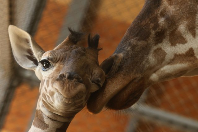 An eleven day old newborn giraffe calf stands beside his mother named Mimi in their enclosure at Himeji Central Park on October 16, 2013 in Himeji, Japan. (Photo by Buddhika Weerasinghe/AFP Photo)