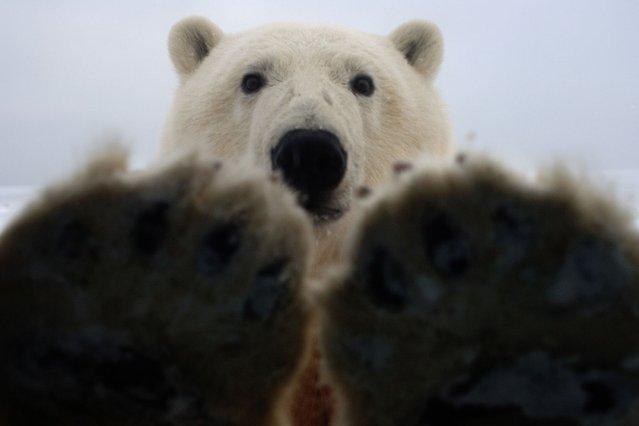"""PLEASE!!"" (Photo by Steven Kazlowski/Barcroft Media)"