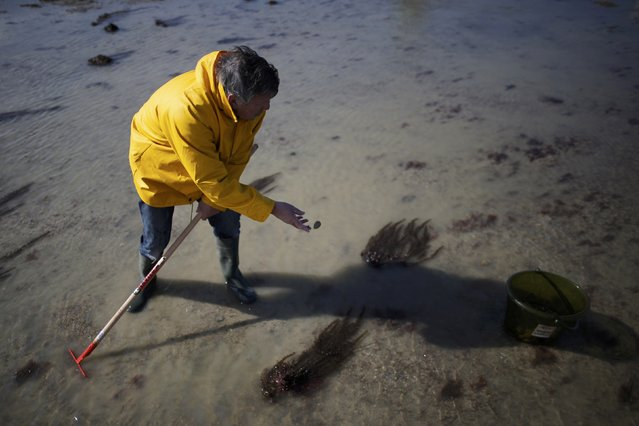 A man digs for shellfish during a record low tide in Saint Malo, western France, March 21, 2015. (Photo by Stephane Mahe/Reuters)