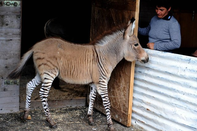 """An act of love between Martin the zebra and Giada the donkey has produced a rare """"zonkey"""" baby that is drawing crowds to an exotic animal shelter in Florence, Italy, on November 2, 2013. (Photo by Tiziana Fabi/AFP Photo)"""