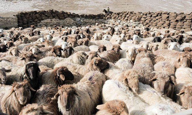 A herder drives his sheep and goats in Yili, Xinjiang Uighur Autonomous Region, March 15, 2015. (Photo by Reuters/China Daily)