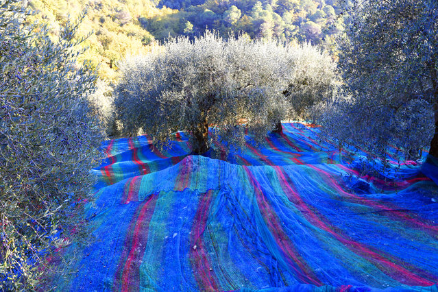 Multicolored nets are set under olive trees to collect the olives on November 27, 2013 in Castagniers, southeastern France. (Photo by Valery Hache/AFP Photo)