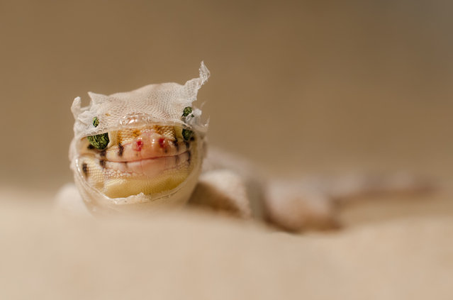 """""""Chinese wonder gecko (Teratoscincus roborowskii)"""". A gecko who just shed his skin looks surprised into the lens, what could that be? Photo location: Terrarium, Ulm, Germany . (Photo and caption by Gabriel Ozon/National Geographic Photo Contest)"""