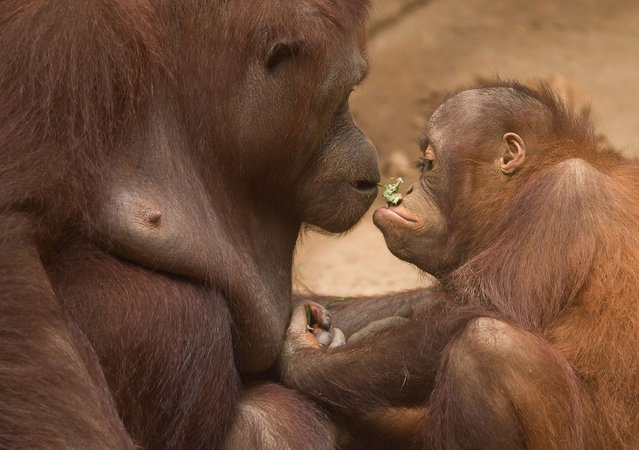 A Bornean orangutan called Muka (L) is seen looking its baby as they stand at their enclosure inside facilities of Bioparc Fuengirola in Malaga, Spain on August 14, 2021. A Bornean orangutan newborn baby was born at Bioparc Fuengirola on 4 August being the only Bornean orangutan baby born in Europe during the last 12 months, as part of the European program of preservation of the species. (Photo by Jesus Merida/SOPA Images/Rex Features/Shutterstock)
