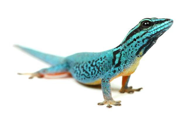 Lizard (Lygodactylus Williamsi). (Photo by Mickael Leger/Caters News)