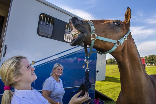 Joseph the part-Hanoverian horse smiles while having his make-up applied by Sophie Wilson before the Westmorland County Show in Cumbria, United Kingdom on September 8, 2021. (Photo by James Glossop/The Times)