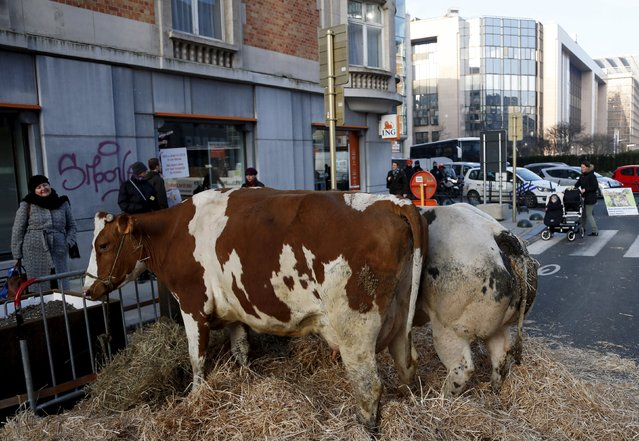 Cows are pictured outside the European Union agriculture ministers meeting as farmers protest against low selling prices in central Brussels, Belgium March 14, 2016. (Photo by Francois Lenoir/Reuters)