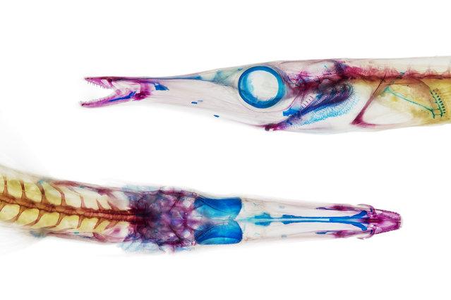 A tube snout (Aulorhynchus flavidus). (Photo by Adam Summers)