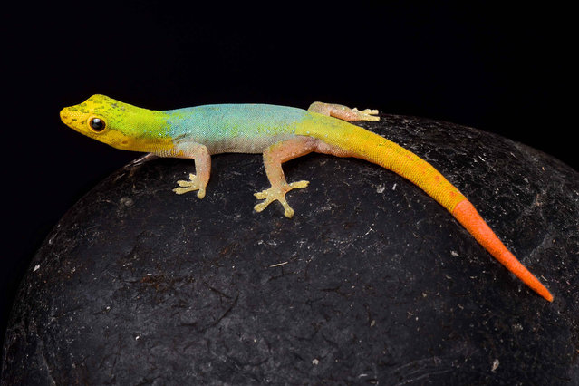 Cameroon dwarf gecko (Lygodactylus conraui). (Photo by Matthijs Kuijpers/The Guardian)