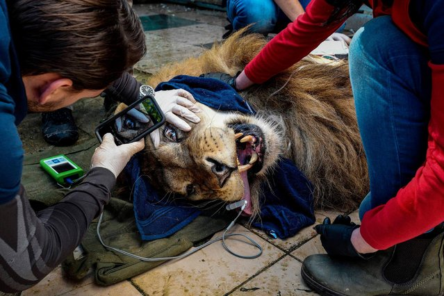 Ten years old lion Lenci is being check by animal welfare association Four Paws militants at Tirana's zoo on May 7, 2019 before its transfer along with two other lions to the Felida Big Cat Center in Netherlands. The three lions, rescued by Four Paws last October from a zoo where they were kept in deplorable conditions and provisionally welcomed in Tirana, were transported to the Netherlands where they will be placed in an establishment imitating their natural habitat. (Photo by Gent Shkullaku/AFP Photo)