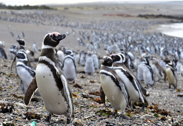 In this Friday, February 17, 2017 photo, penguins walk on the beach on Punta Tombo peninsula in Argentina's Patagonia. Drawn by an unusually abundant haul of sardines and anchovies, over a million penguins visited the peninsula during this years' breeding season, a recent record number according to local officials. Punta Tombo represents the largest colony of Magellanic penguins in the world. (Photo by Maxi Jonas/AP Photo)