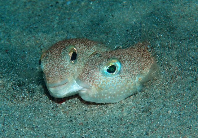 """A pair of pufferfish (Torquigener albomaculosus) are seen engaging in courtship behaviour in this undated handout picture obtained by Reuters May 21, 2015. T. albomaculosus is one of SUNY College of Environmental Science and Forestry's """"Top 10"""" species discovered in 2014. (Photo by Yoji Okata/Reuters)"""