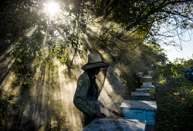 A beekeepers works at an apiary in Navajas, Matanzas province, Cuba on March 21, 2019. In the mountains of Matanzas province, in western Cuba, bees buzz free of agrotoxic, enjoying a diet rich in wild flowers and producing a high quality honey, that European markets crave for. (Photo by Yamil Lage/AFP Photo)