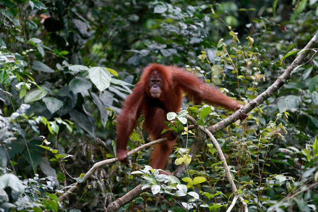 Rere a four and half year old Sumatran Orangutan hangs from a tree after being released into the wild from a cage at the Sumatran Orangutan Conservation Program (SOCP) Reintroduction and Quarantine Station in Jantho, Aceh Besar, Indonesia, 18 June 2019. Sumatran Orangutan Conservation Program (SOCP) together with Aceh Natural Resource Agency release two orangutans into the wild from the rehabilitation station after the orangutan having lost their original habitat from widespread illegal logging and destruction of forest for palm oil plantations. Indonesia is the world's largest producer of palm oil, made from the pulp of the palm fruit, followed closely by Malaysia. Palm plantations have been built on land taken from destroyed tropical rainforest, causing the death and displacements of many species, among them the critically endangered orangutan. (Photo by Hotli Simanjuntak/EPA/EFE)