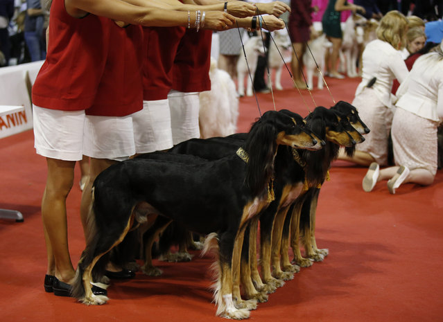Saluki greyhounds are displayed at the World Dog Show in Rho, near Milan, Italy, Saturday, June 13, 2015.  (AP Photo/Luca Bruno)