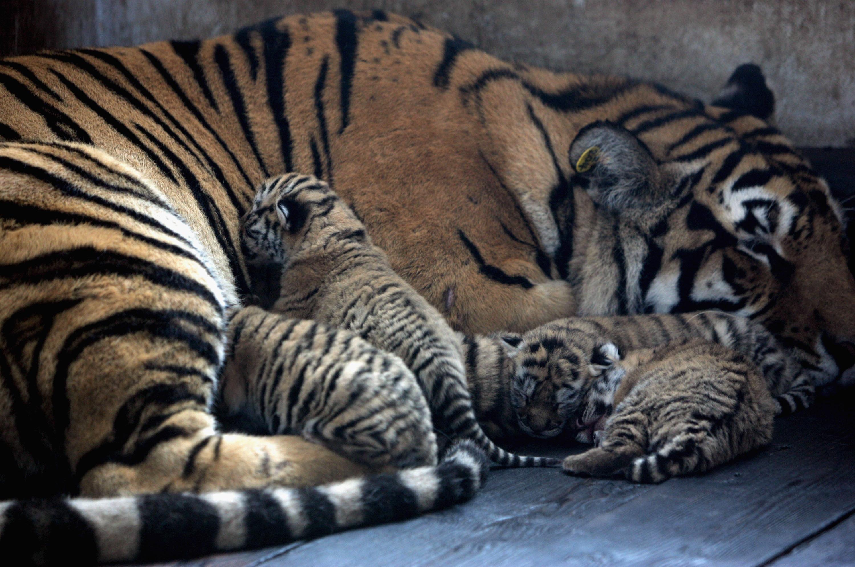 Страна тигров картинки