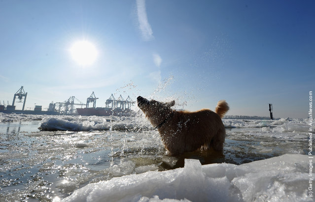 A dog takes a dip in the river Elbe