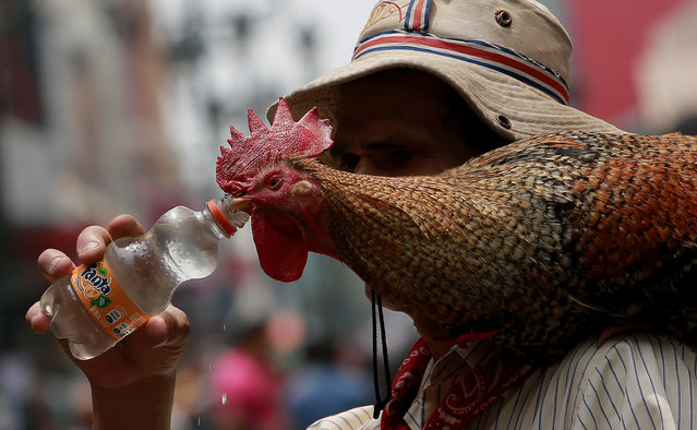 "Martin Herrera gives water to his favourite rooster ""Paquito"" while walks in San Jose, Costa Rica April 27, 2017. (Photo by Juan Carlos Ulate/Reuters)"