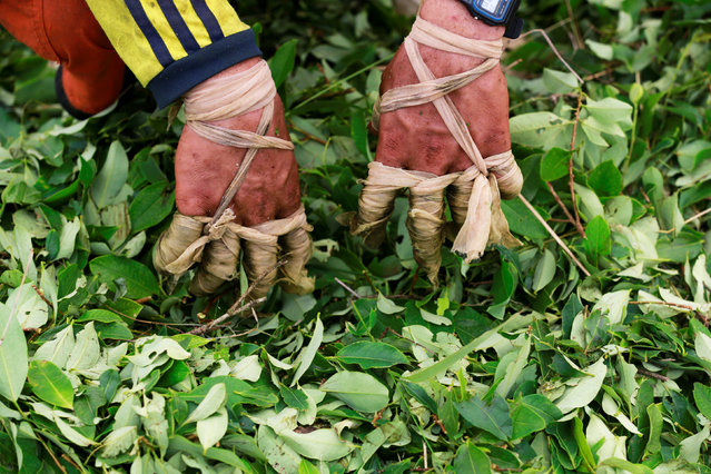 The wrapped fingers of a raspachin, a worker who collects coca leaves, are seen during the harvest of the leaves on a small coca farm in Guayabero, Guaviare province, Colombia, May 23, 2016. (Photo by John Vizcaino/Reuters)