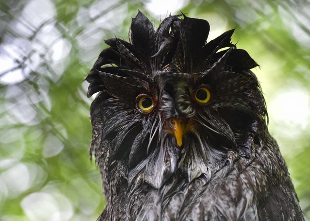 A wet owl is pictured on June 10, 2014 in a zoo after a rainfall in Eberswalde, Germany. (Photo by Patrick Pleul/AFP Photo/DPA)