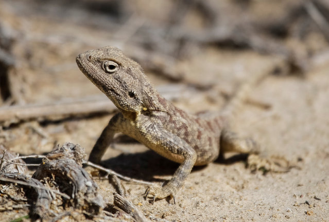 A Steppe Agama is seen in Altyn-Emel national park in Almaty region, Kazakhstan, May 13, 2016 (Photo by Shamil Zhumatov/Reuters)