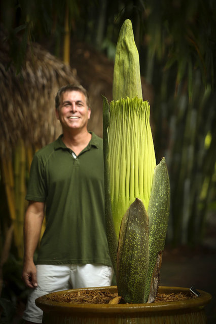 """What attracts people to this plant? It's the shock value. People love a train wreck. You glance, drive by, recoil, then look again"", said the corpse flower�s owner and caretaker, Robert Saporito, who planted the corpse flower in 2006. (Photo by Bruce R. Bennett/The Palm Beach Post)"