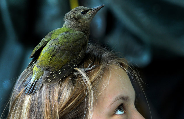 A nestling of the grey-headed woodpecker (Picus canus) falls out of his hollow as he stays on a girl's head near the village of Vasilyevskoye, some 90 km west of Moscow, on June 29, 2016. (Photo by Sergei Gapon/AFP Photo)