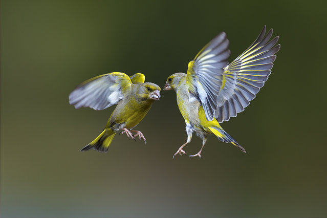 "These greenfinches go head to head in what appears to be a heroic fight or a playfull moment together, inspiration for a new version of ""Angry Birds"", in Trezzo Sull'Adda, Italy in March 2013. (Photo by Marco Redaelli/IMP/AbacaPress.com)"