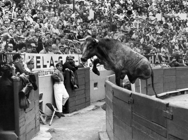 Usually not one to run away from a right, this bull leaps the protective wall from bull ring to startle spectators in Mexico City, July 11, 1965. Bull was lured back to arena. No one was injured. (Photo by AP Photo)