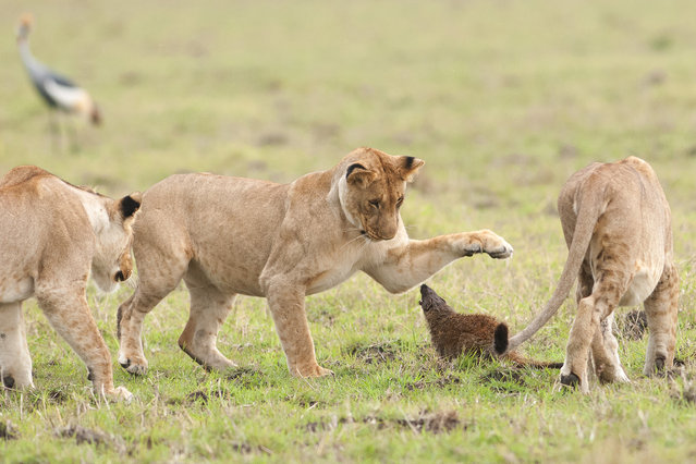 A lion tries to swipe at the growling mongoose on September 10, 2011 in Maasai Mara, Kenya. Four lions were left with their tails between their legs when a mongoose bravely took on the predators. (Photo by Jerome Guillaumot/Barcroft Media)
