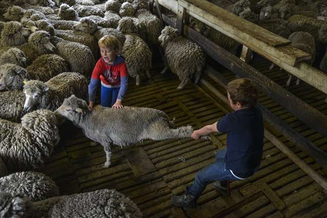 George Lee, R, and his cousin, Daniel Lee, work to separate sheep that have already been shorn from those who will soon have their thick wools removed at the family's shearing shed on Saturday, February 13, 2016, in Port Howard, West Falkland Islands. Their family owns 40,000 sheep and 300 cows. During weekends and school breaks, George throws himself into country life, away from where he attends school during the week in the islands' capital, Stanely. (Photo by Jahi Chikwendiu/The Washington Post)